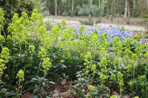 crocus plants for shade buy wood spurge euphorbia amygdaloides var robbiae delivery by crocus