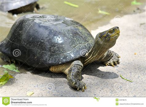 tortue d eau douce aquarium tortue d eau douce image stock image du lent nature 34378575