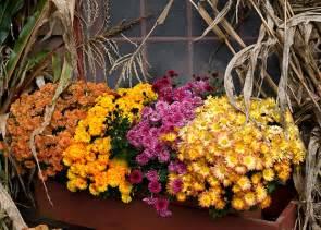 Fall Mum Flower Displays
