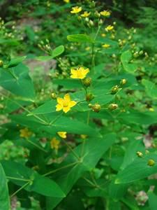 Hypericum Sampsonii Hance