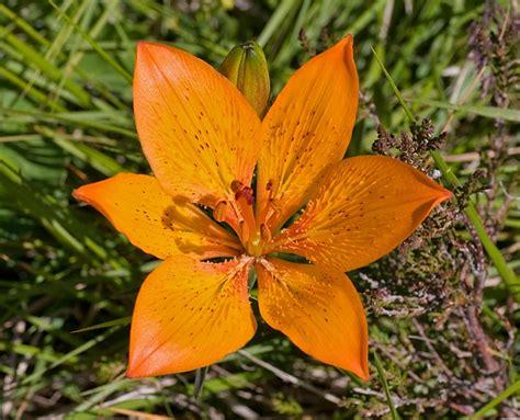 Www Escursioniapuane Com Flora E Fauna Giglio Di