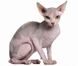 50+ Cutest Hairless Sphynx Cat Photos - Golfian.com