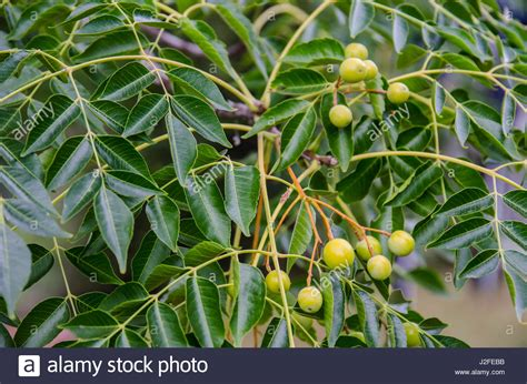 Chinaberry Stock Photos & Chinaberry Stock Images Alamy