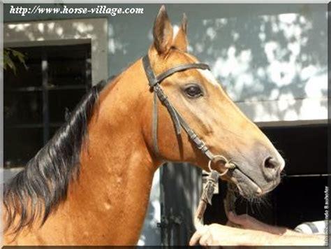index des races de chevaux  poneys