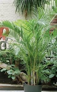 Palmen Für Drinnen : die sch nsten palmen f r den wintergarten winterg rten sorgen und w nde ~ Bigdaddyawards.com Haus und Dekorationen