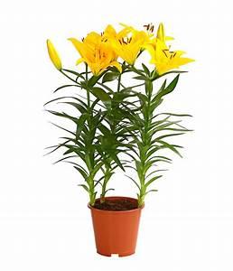 Lilie Topfpflanze Kaufen : lilie dehner ~ Lizthompson.info Haus und Dekorationen