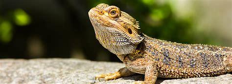 Reptile Heat Ls Petsmart by Bearded Care Sheet Supplies Petsmart