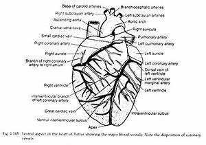 Circulatory System Of Rattus Norvegicus  With Diagram