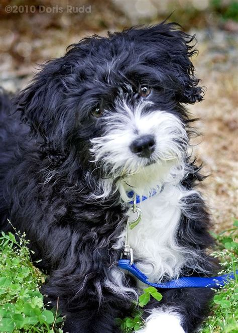 best 25 portuguese water dog ideas on pinterest