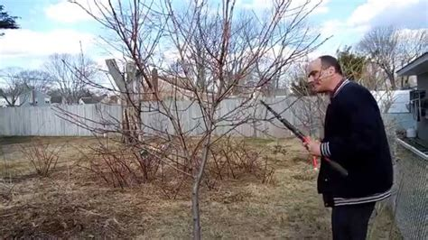 how to prune a dwarf peach tree part one youtube