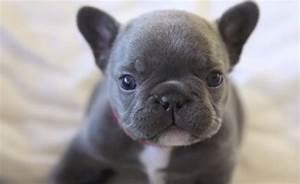 Cute French Bulldog | www.pixshark.com - Images Galleries ...