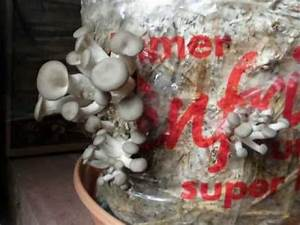 Austernpilze Selber Züchten : champignons selber z chten mit my champi kiepenkerl doovi ~ Orissabook.com Haus und Dekorationen