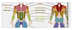 Muscle Diagram Male Body Names Yoga Mat For Sale By Peter