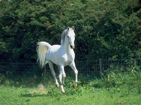 horse arabian riding story enters scene tale sides every horses beach hd pretty beauty growing