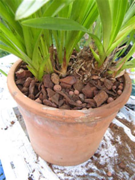 tailler une orchidee en pot cymbidium cultiver et faire refleurir cette orchid 233 e