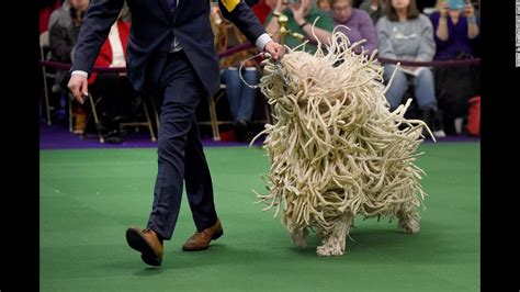 westminster dog show california journey wins top prize