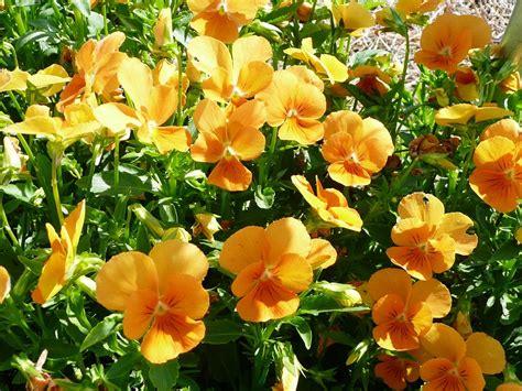 sorbet violas get it growing pansies violas make ideal winter flower gardens bossier press tribune