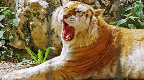 Beautiful Golden Tabby Tiger
