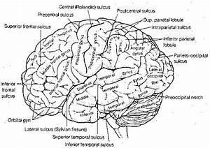 Cerebral Gyri
