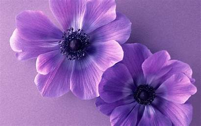 Cosmos Purple Flowers Duo Nature Wallpapers Desktop
