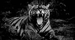 tiger roar gif   Tumblr