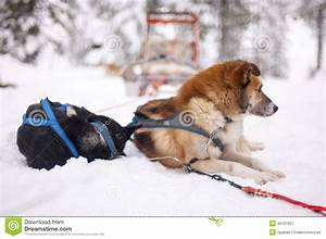 Sled dogs stock image. Image of blue, cold, snow ...