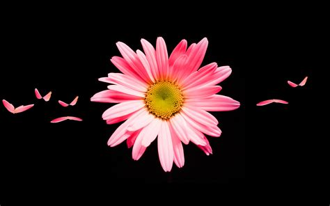 pink daisy hd wallpapers hd wallpapers id