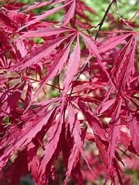 lace leaf maple Tamukeyama Japanese Maple   Mendocino Maples Nursery