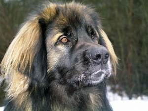 118 best images about Leonberger Gentle Giant on Pinterest ...