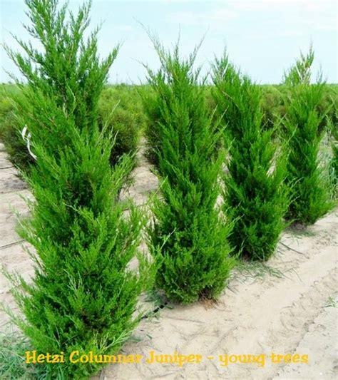 hetzi columnar juniper