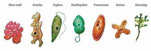 Kingdom Protista - BIOLOGY4ISC