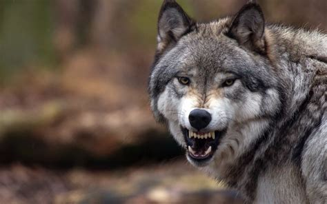 Angry Wolf Wallpaper 4k by Wallpaper Wolf Up Grin Angry Forest 2560x1600 Hd