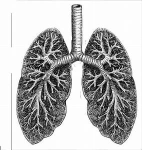 Labeled Diagram Human Lungs