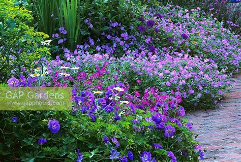 GAP Gardens - Geranium 'Rozanne' edging path at Haddon ...