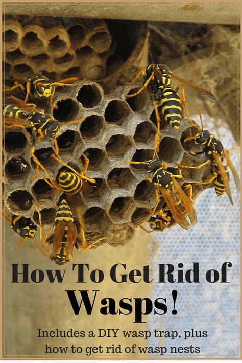 how to get rid of hornets how to get rid of wasps includes a diy wasp trap