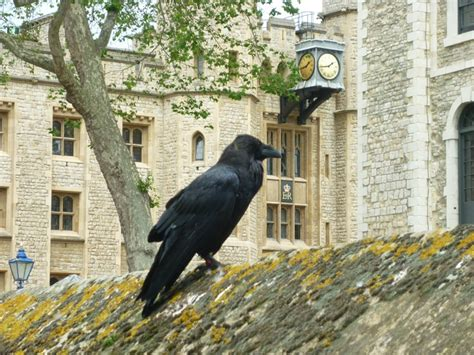 tower of london in love with its crows favorite places
