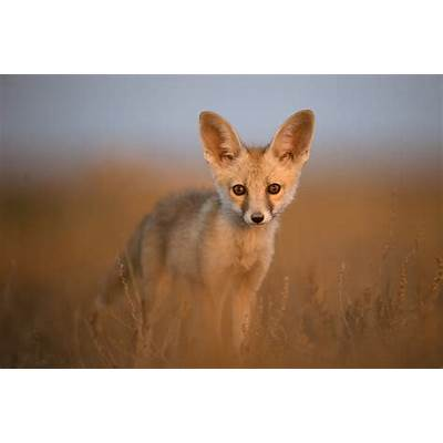The Iron Ammonite: How the cute Indian desert foxes were