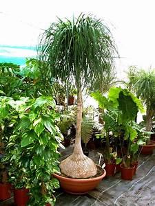 Arbuste D Intérieur : int rieur vert arbuste beaucarn a flore de l le de ~ Premium-room.com Idées de Décoration
