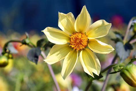 Floare galbena | Imagine Desktop