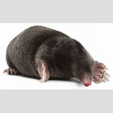 Moles  Welcome To First Envirowelcome To First Enviro