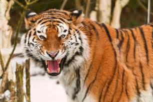 トラ:[フリー画像] 動物, 哺乳類, ネコ科, 虎・トラ, 怒る, 口を開ける ...