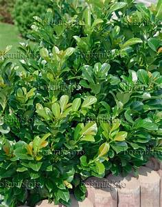 Prunus Laurocerasus Etna : image cherry laurel prunus laurocerasus 39 etna 39 471445 images and videos of plants and ~ Watch28wear.com Haus und Dekorationen