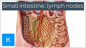 Lymph Nodes Of The Small Intestine  Preview