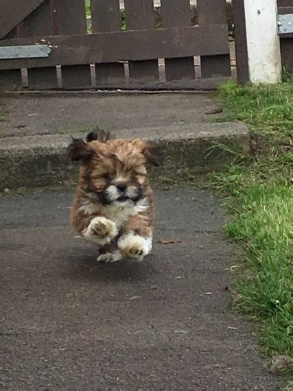 Lhasa apso puppies   Halifax, West Yorkshire   Pets4Homes