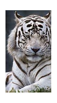 Free Download White Tiger Backgrounds | PixelsTalk.Net