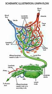 The Lymphatic System – Lymphatic Therapy  Lymph