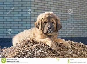 Puppy Breed Tibetan Mastiff Stock Photo - Image: 40090673