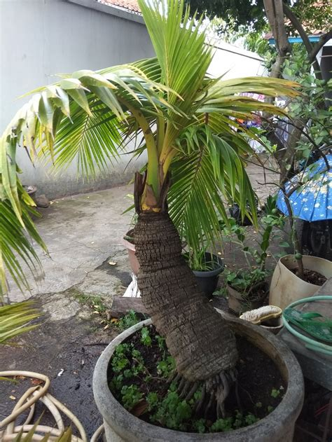 jual bonsai kelapa gading kuning unik antik lapak