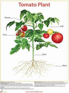 Image Result For Botanical Paintings Of Tomatoes