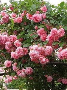 Rosier Grimpant Remontant : rosier grimpant 39 dream weaver 39 rosa grimpant le ~ Melissatoandfro.com Idées de Décoration